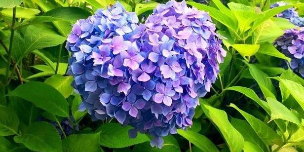 京都はんなり歳時記〜恋が叶う!?三室戸寺のハートの紫陽花〜