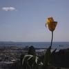 ようやく最後のチューリップが咲きました【ベランダー】
