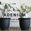 アデニウムの植え替えと成長 2021