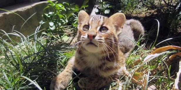 2月22日はネコの日!  京都市動物園の隠れアイドル・ツシマヤマネコ