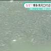 【前兆】福岡県・博多湾にニシン科のコノシロが大量出現+川にアカエイが3匹出現~地震前兆か?