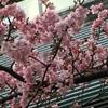 さくら咲く...宿河原ポトスで<ももの祭り>でした