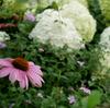 エキナセア、グリーンアナベル、ムクゲ、ルリマツリが咲いてきた♪