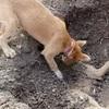 【動画】 死んだ兄弟をお墓に埋める犬 「涙をそそる」