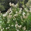 サルスベリの白い花