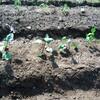 畑で野菜を育てます