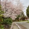 リッチモンド・バーナビー・バンクーバーどこでも桜満開