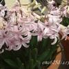 ピンクのヒヤシンスが咲いたよ