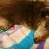 犬の睡眠時間はヒト族より長いのが普通。老犬はもっと寝る。それも普通。