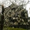 高田公園に桜を見に行ってきた!