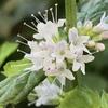 今日の植物たち(アデニウム、ラズベリー、洋蘭、ハッカ、ハイビスカス、パンジー)