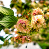 園里黄桜の色変わり(散歩写真)