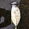 沼津にあの魚がやってきた!!沼津メッキゲーム♪♪