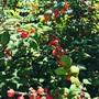 ユスラウメの木の実