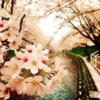 五条川で桜のトンネルお花見デート