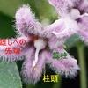 ガガイモの花 再考