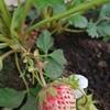 イチゴ栽培記録(5/25)