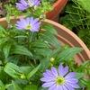 春~初夏の花1 ミヤコワスレ/ 都忘れ  咲き始めた頃の透き通ったような花と緑の葉とのコントラストは抜群です.ミヤマヨメナの園芸種の位置づけで,江戸時代から改良が加えられてきたとのこと.命名について,順徳上皇の故事がよく知られていますが,「伝承が正確だとすれば、現在のミヤコワスレとは花期が一致しない(湯浅)」都忘れ,そしてその原種ミヤマヨメナは,ノギクには珍しく花期が4月中旬~6月中旬.別名ノシュンギク/ 野春菊.  春に咲くためその名があります.