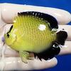【現物2】ゴールドフレーク 7cm±!海水魚 ヤッコ 餌付け!15時までのご注文で当日発送【ヤッコ】