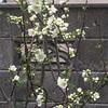 桜開花です。(*゚▽゚)ノ