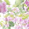 上野の八重桜。もうサクラは終わりですネ~