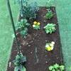 庭にできた野菜畑のその後