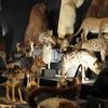国立科学博物館、大哺乳類展2に行ってきました!レビュー