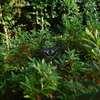 庭はいい。アゲハチョウ、鯉、草刈り、ヤブ蚊