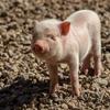 中国「新型豚インフルエンザにパンデミック懸念」