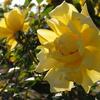 「西尾市 憩いの農園」のバラ