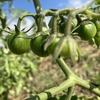畑での野菜収穫と物々交換。自給自足も夢じゃない?!