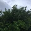 3月29日 みかんの木の剪定完了!