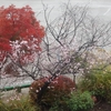 12月なのにサクラが咲き!モミジが紅葉し!ススキが揺れる光景にビックリ!+おまけ2
