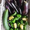 今日の野菜収穫です(9/18)🍀