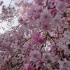しだれ桜(八重)