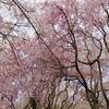 【花の楽園】穴場すぎる!知られざる京都の最強花見スポット「原谷苑」