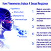 The Interest in Pheromones and Do They Work