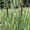 石神井公園 6月の花