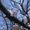 梅と桜の開花。少し異常かもと言う懸念