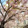 サン・セバスティアンの桜