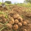 重粘土質畑のジャガイモ収穫