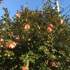 ハルサザンカ 笑顔 続々と開花