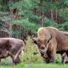 野生では絶滅したヨーロッパバイソン 生息数は回復しつつも密猟は未だに続く