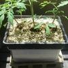 水耕栽培のくふうで根張りを広くする方法