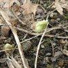 ハッカクレンの種と芽だし