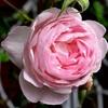 セプタード・アイルの開花