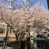 久しぶり!桜綺麗かった。