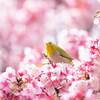 熱海桜とメジロ(その2)