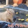 【動物ひとコマ#3】ゆず風呂を嗜むカピバラ【埼玉県こども動物自然公園】