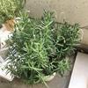 ラベンダーの花 しおれる!|ベランダで鉢植えラベンダー『スーパーサファイアブルー』栽培